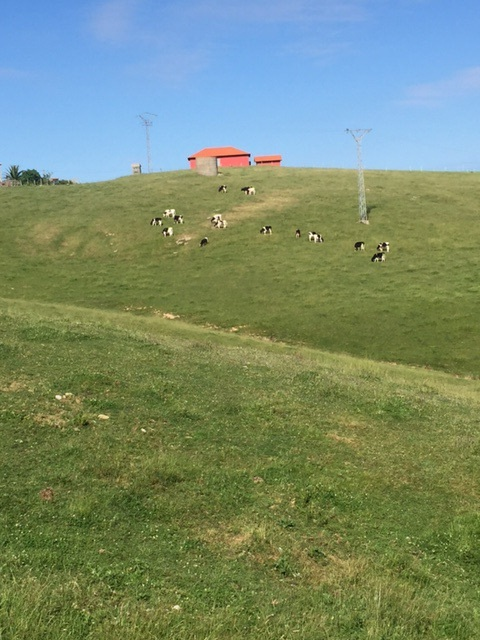 Cows and green green hills