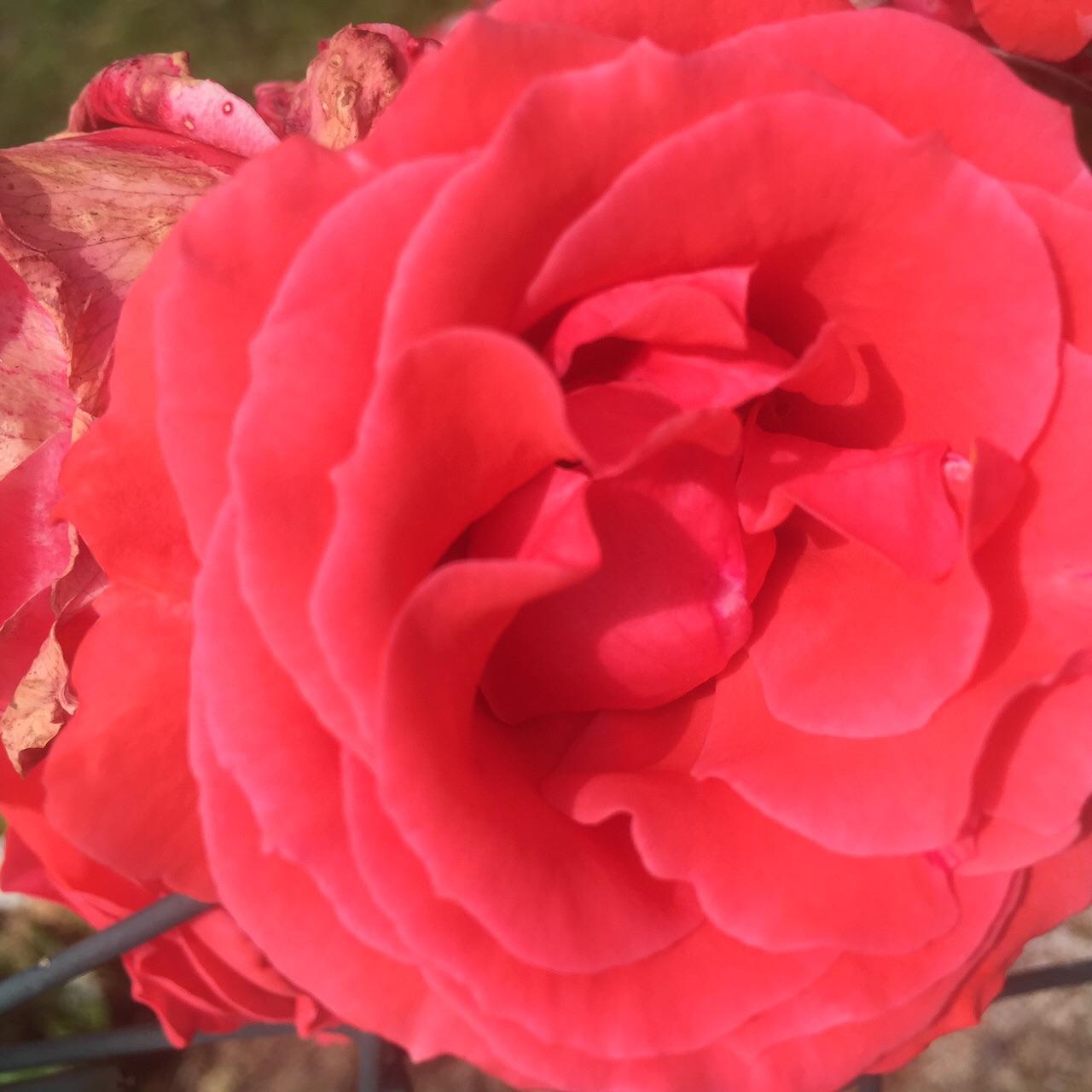Orangeish reddish rose