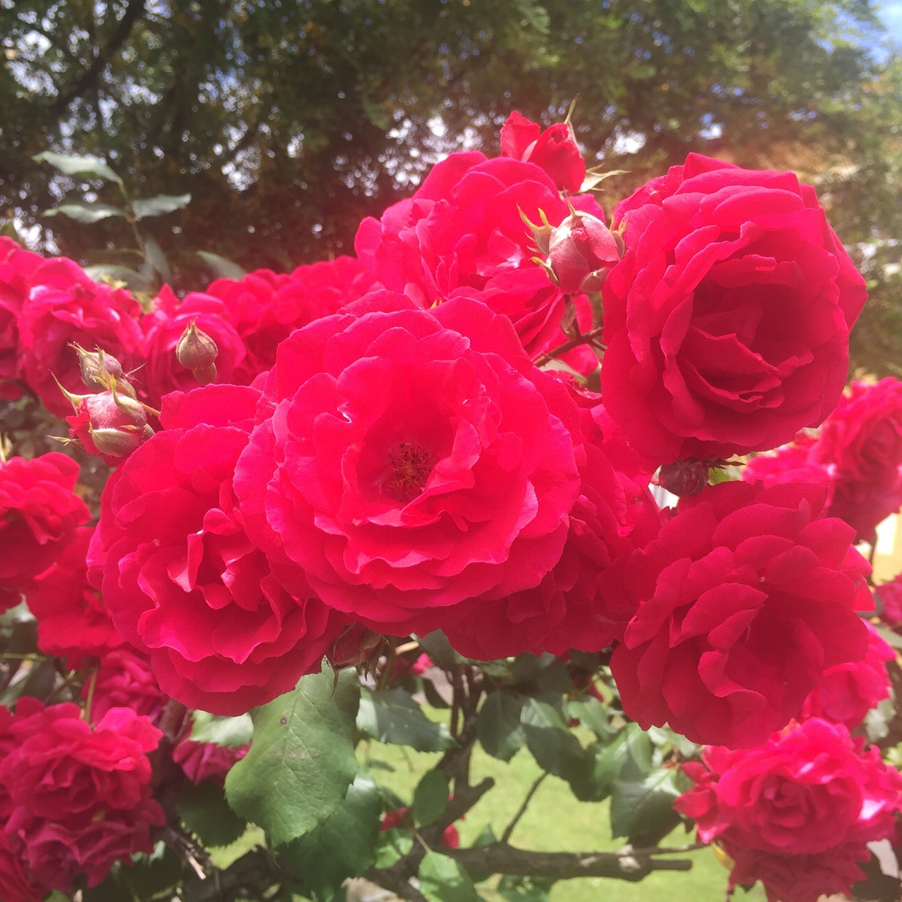More red roses