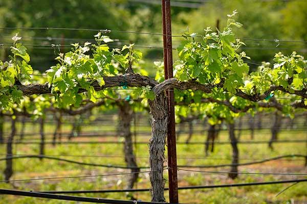 600-x-400-Napa-Valley-Grape-Vine-closeup-in-Spring-bbourdages-iStock-Thinkstock-106443252.jpg