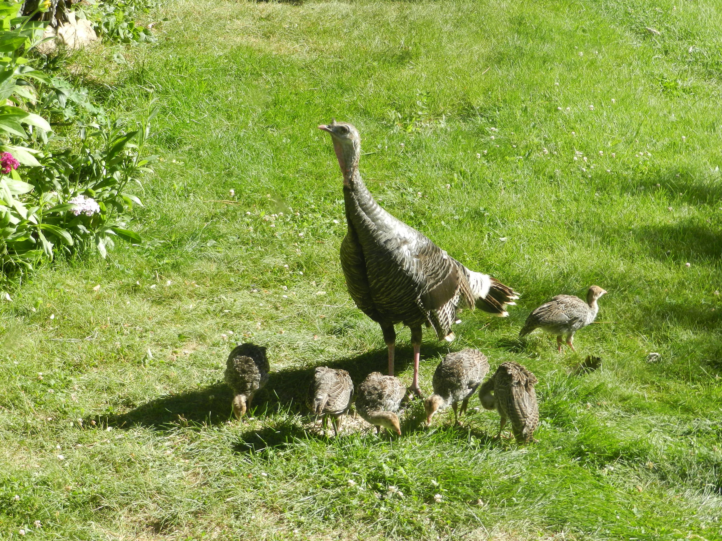 Wild-Turkey-family.jpg