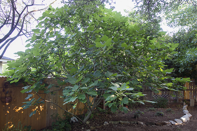Get-Expert-Advice-about-Growing-Fig-Trees.jpg