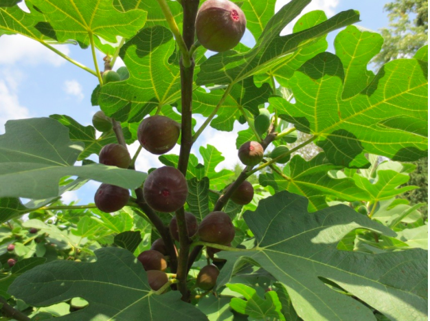 fig-tree.png