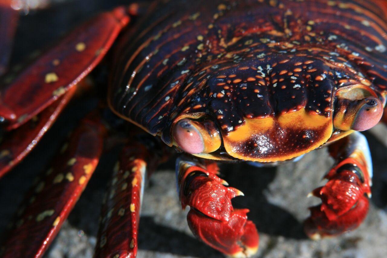IntroverTravels Galapagos Island Crab
