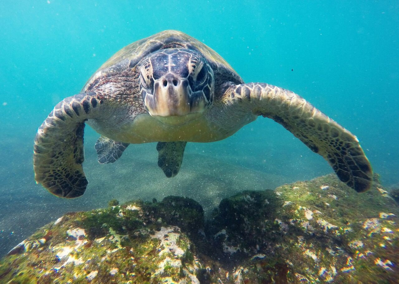 IntroverTravels Galapagos Islands Sea Turtle