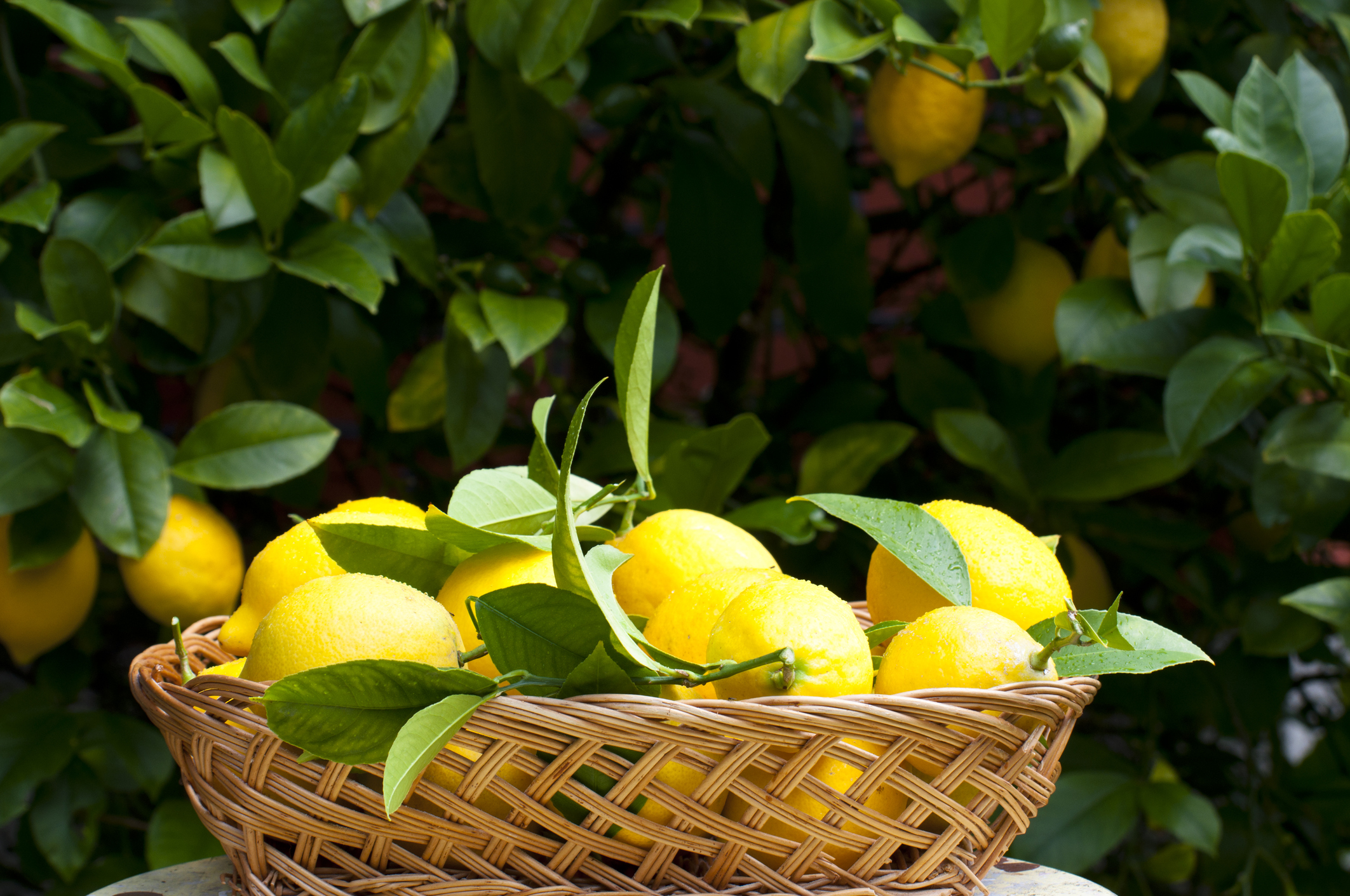 What is a Meyer Lemon? -