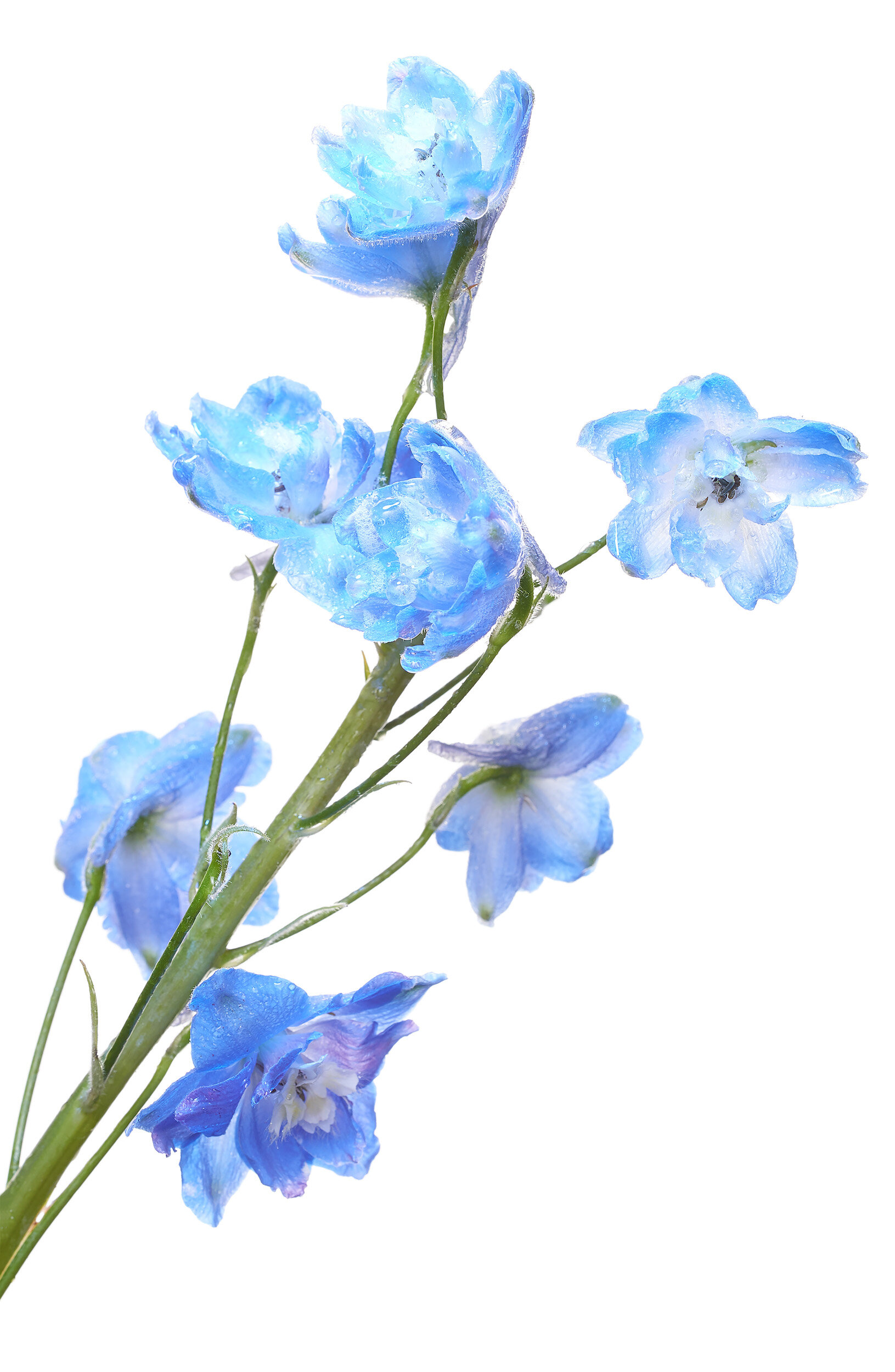 Study for Touch Sensitive (Delphinium)