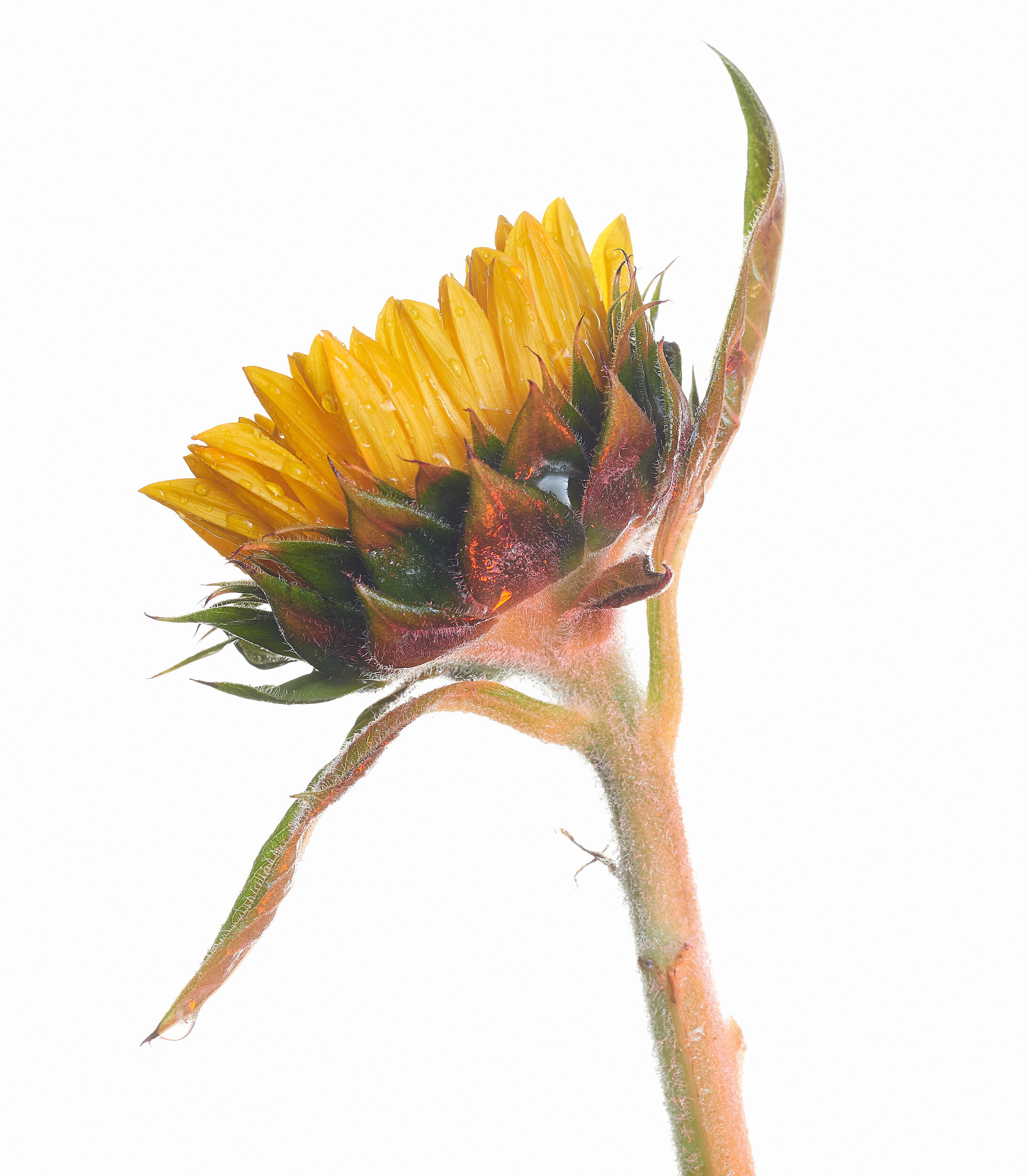 Study for Touch Sensitive (Sunflower)