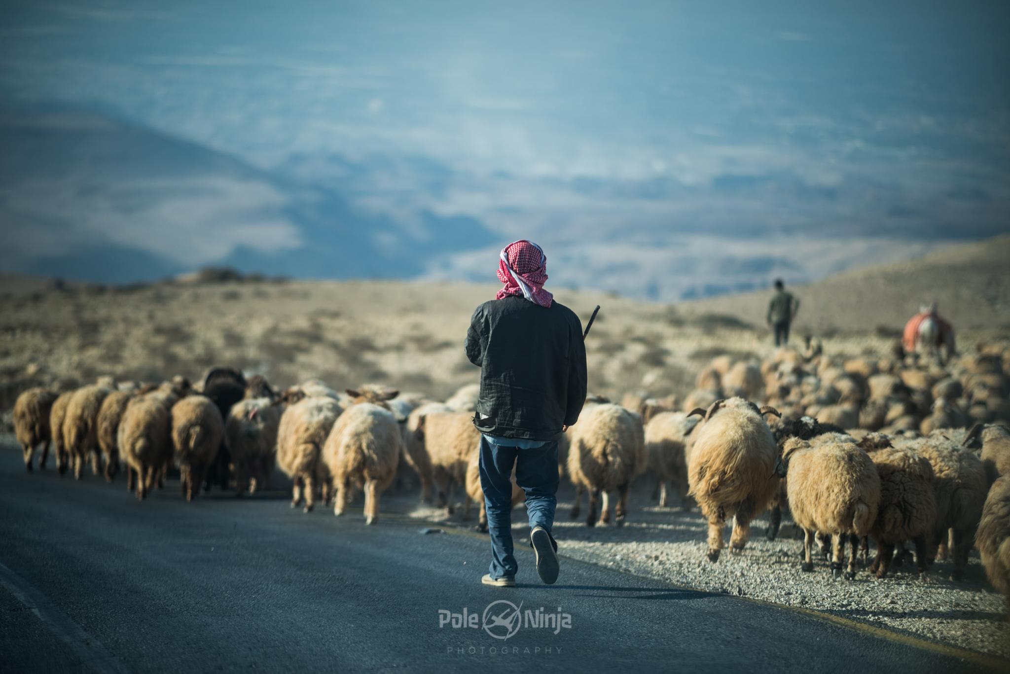 Men herding livestock.