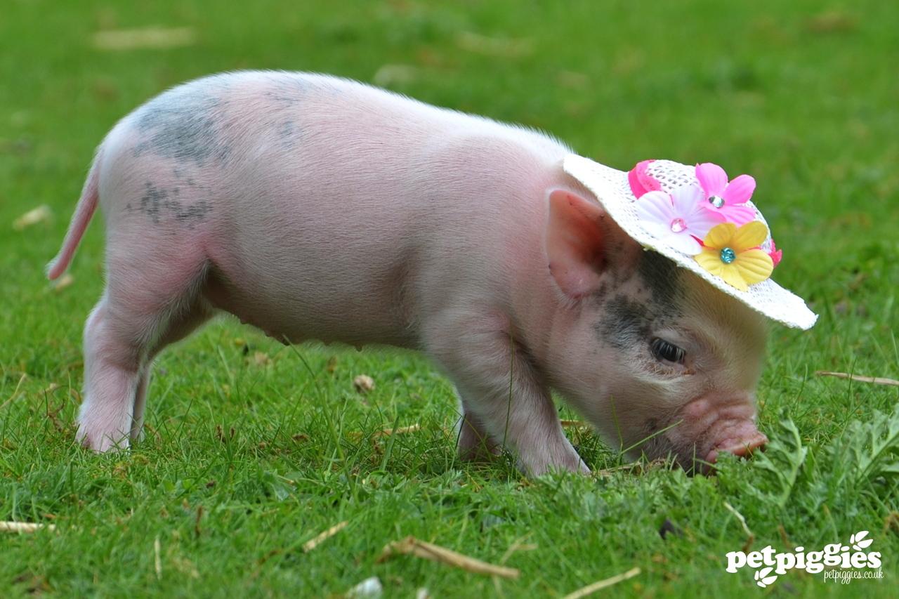 Micro piglet wearing a flower bonnet