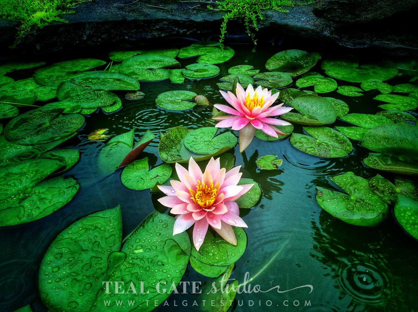 lily pad flowers (1 of 3).jpg