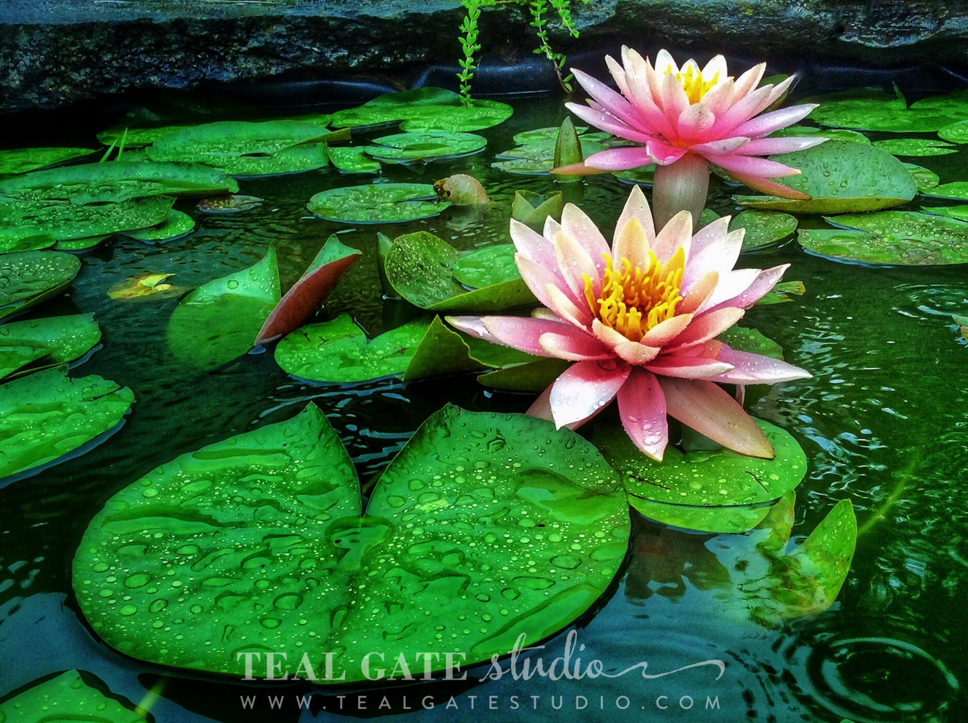 lily pad flowers (2 of 3).jpg