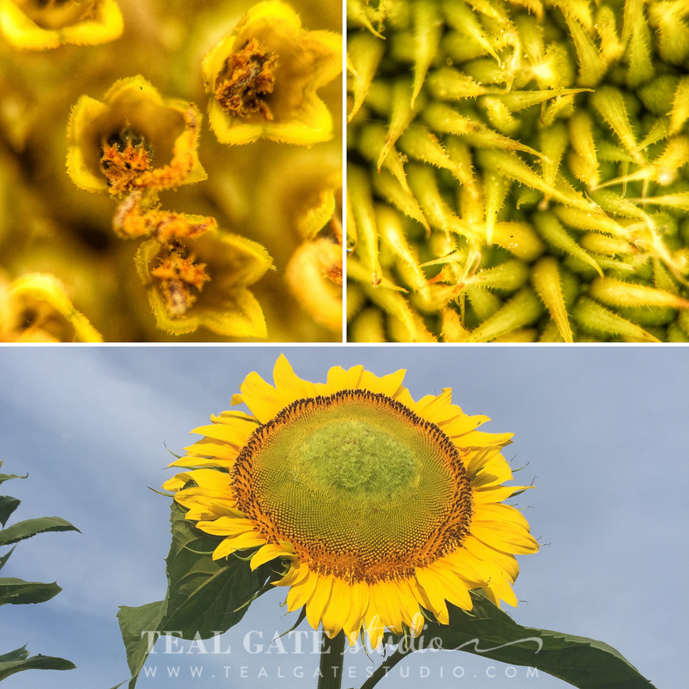 Mammoth Sunflower:  Top left image is a 21x view of the outer edge of the sunflower head near the petals. The top right image is a 21x view of the center of the head of the sunflower. Ōlloclip macro pro + iPhone 6