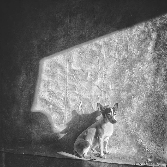 """Sun dog on painted backdrop""-Marco enjoys the unseasonably warm weather while I catch up on work. . . .  #Blackandwhitephoto #Blackandwhiteonly #Bnw #Bnw_life #Bnw_captures #Blackwhite #Blackwhitephoto #Bw_crew #Photograph #Bnw_society #Photographer #Blacknwhite #Blacknwhite_perfection #Instablackandwhite #bw #Insta_bw #tealgatestudio #iphone6 #lovewhoyouarenow"