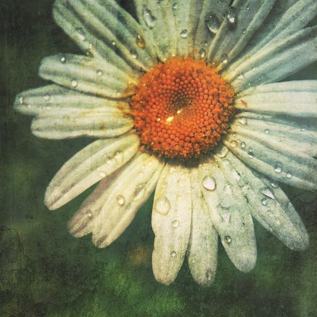 "Slowing down and really seeing the beauty around me! ""Daisy After Rain"". iPhone 6 and 7x macro Olloclip attachment.  #iphonography ,#iphone6 , #olloclip , #olloclip_macro ,#flower , #daisy ,#artprint"