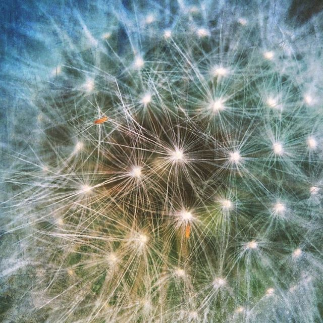 Up close, dandelion fluff looks like starbursts.  #iphone6 , #iphonography📱 #olloclipmacro #artprints #art  #flowers  #dandelion