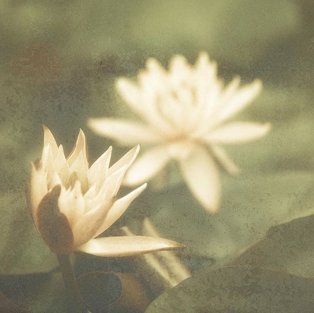 Water Lilly blossoms. #art #flowers #waterlillies #waterlilly #5dmarkiiii #sigmalens