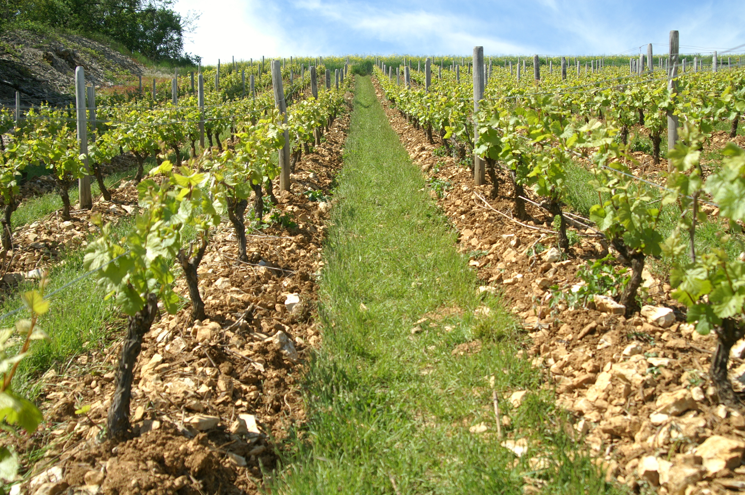 Chenin Blanc Vineyards