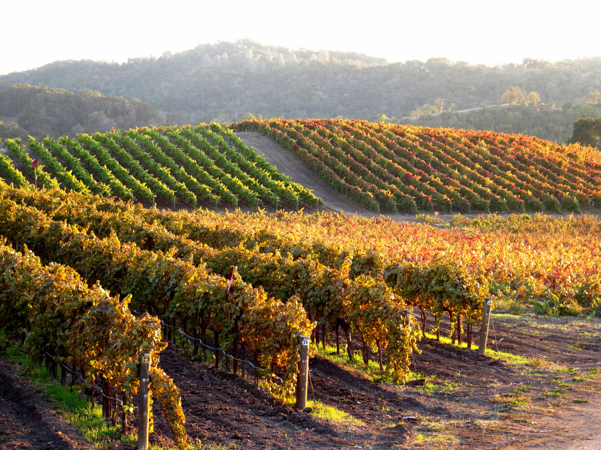 Tablas Creek Vineyard Harvest Sunset at Tablas Creek.jpg