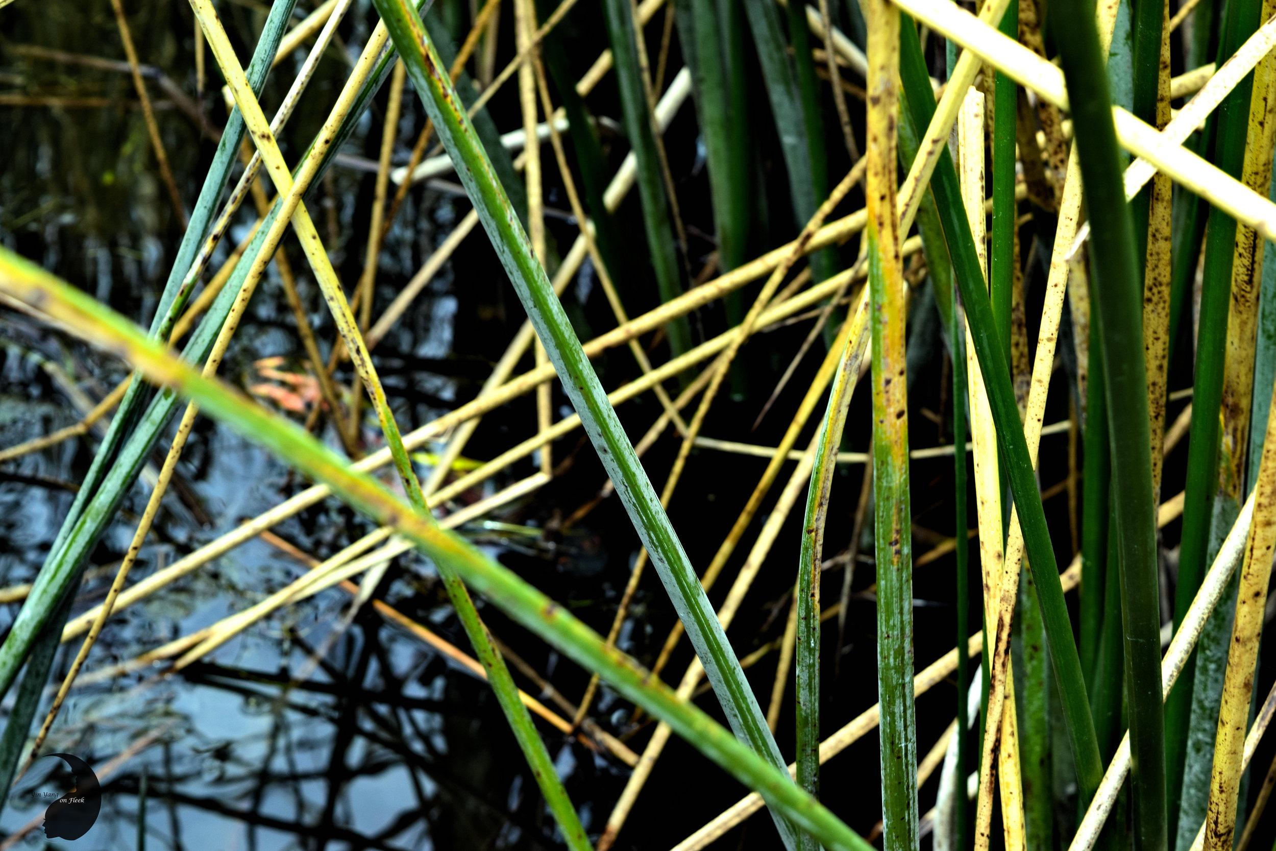 Totora Reeds- Uros