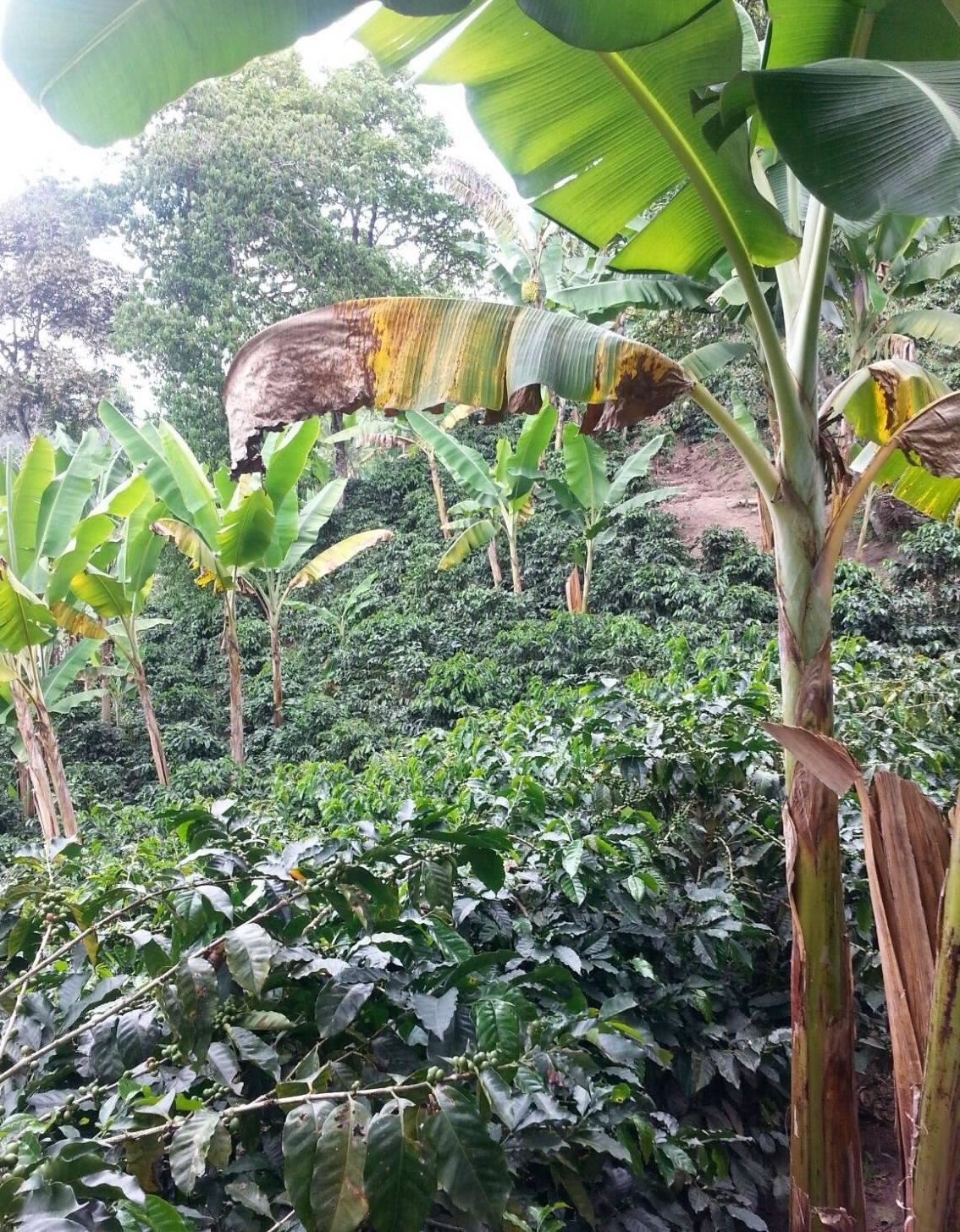 Coffee plantation on the outskirts of Salento.