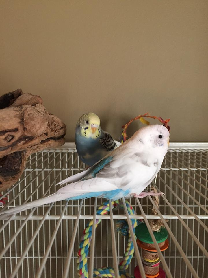 3 year old Ariel (white) and Dory (blue and yellow) were adopted together in June 2018! Parakeets live for 10+ years and are native to Australia.