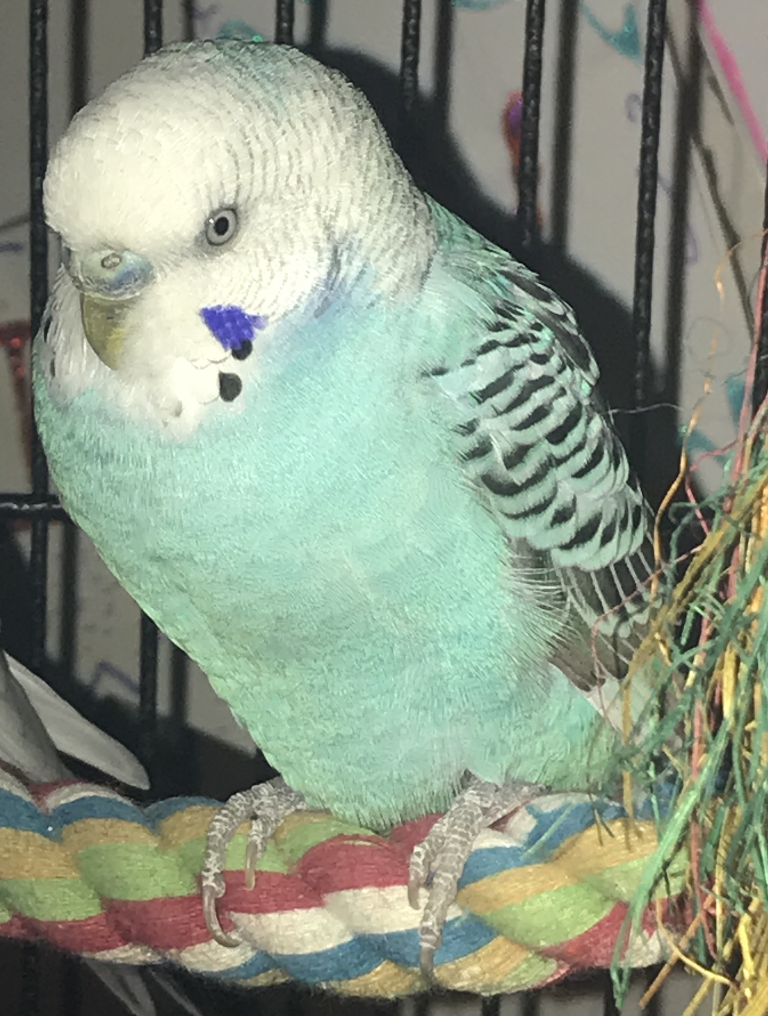 Curacao is a male parakeet, transferred to CTPR through our rescue-partnership, was adopted in April 2018! Parakeets are native to Australia and live for 10+ years.