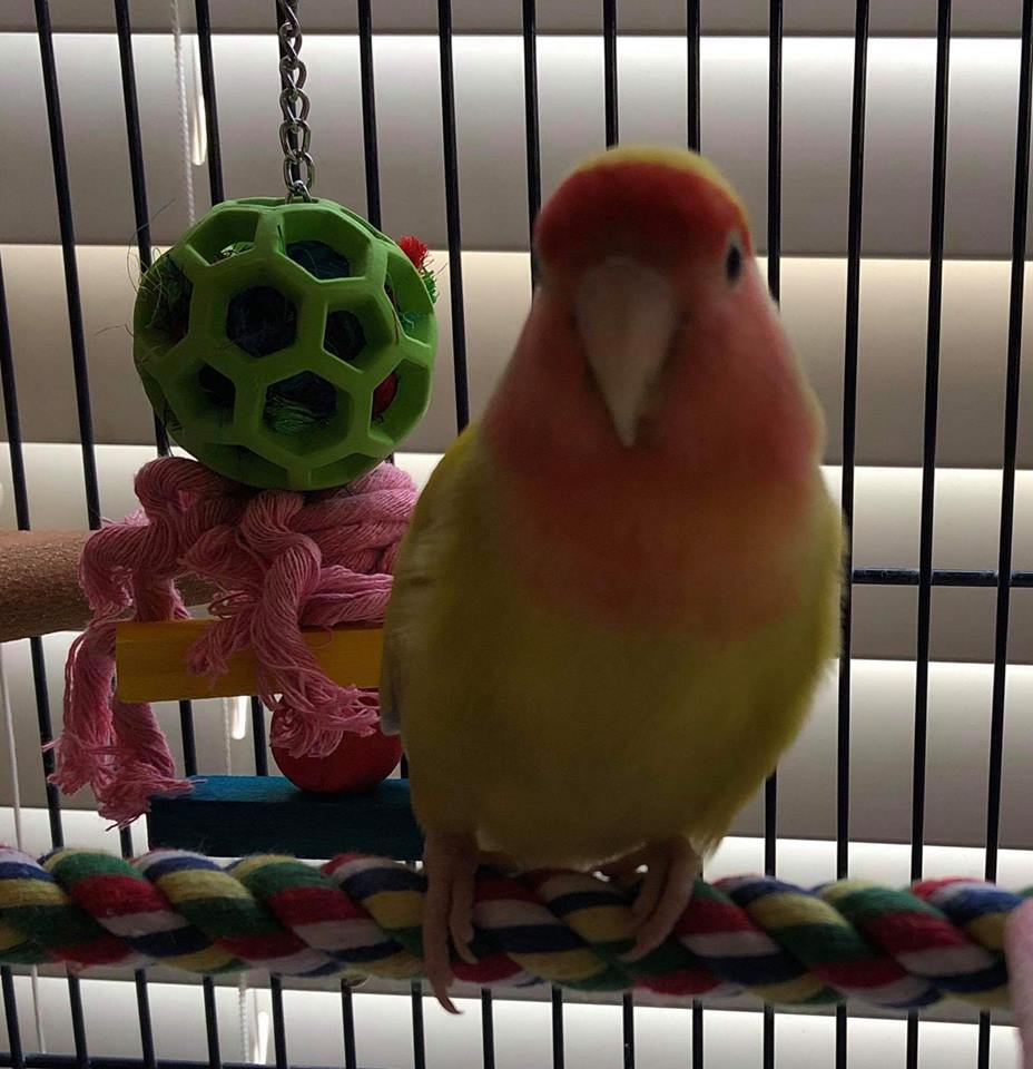 Our little survivor Quinn was adopted in June 2019! Lovebirds live for 10+ years and are native to Africa.