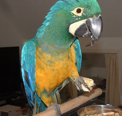 40 year old Bosco was adopted in June 2019! She is a very rare Hyacinth x Blue and Gold Hybrid.