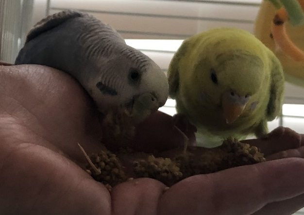 ADOPTED  Poppy (yellow) and Angel (blue) are a mother-daughter bonded duo. Poppy is a 3 month old parakeet. Angel is a 3 year old female parakeet.  Parakeets are native to Australia and live for 10+ years.