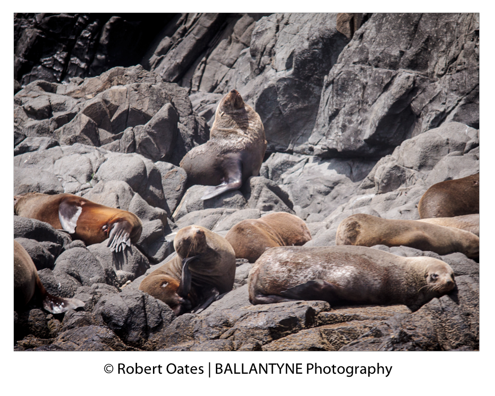 Australian Fur Seals bearing the scars of fights with each other and scaling the rocks to rest during the day
