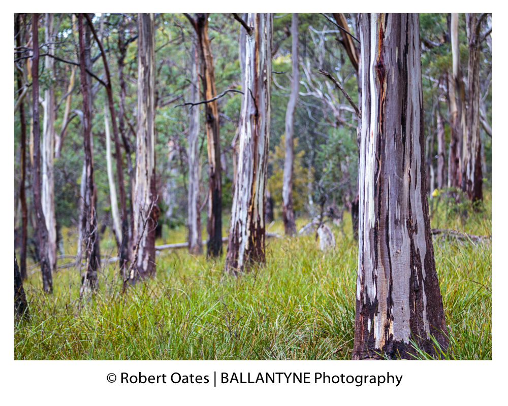 Button Grass carpets the floor beneath magnificent gum trees, South Bruny National Park
