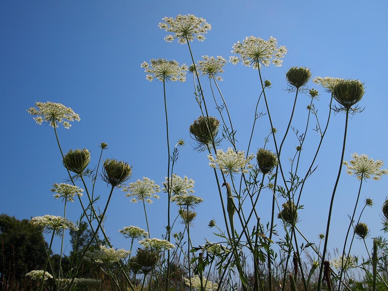 Queen Ann's Lace at Hickory Hill, Iowa City.