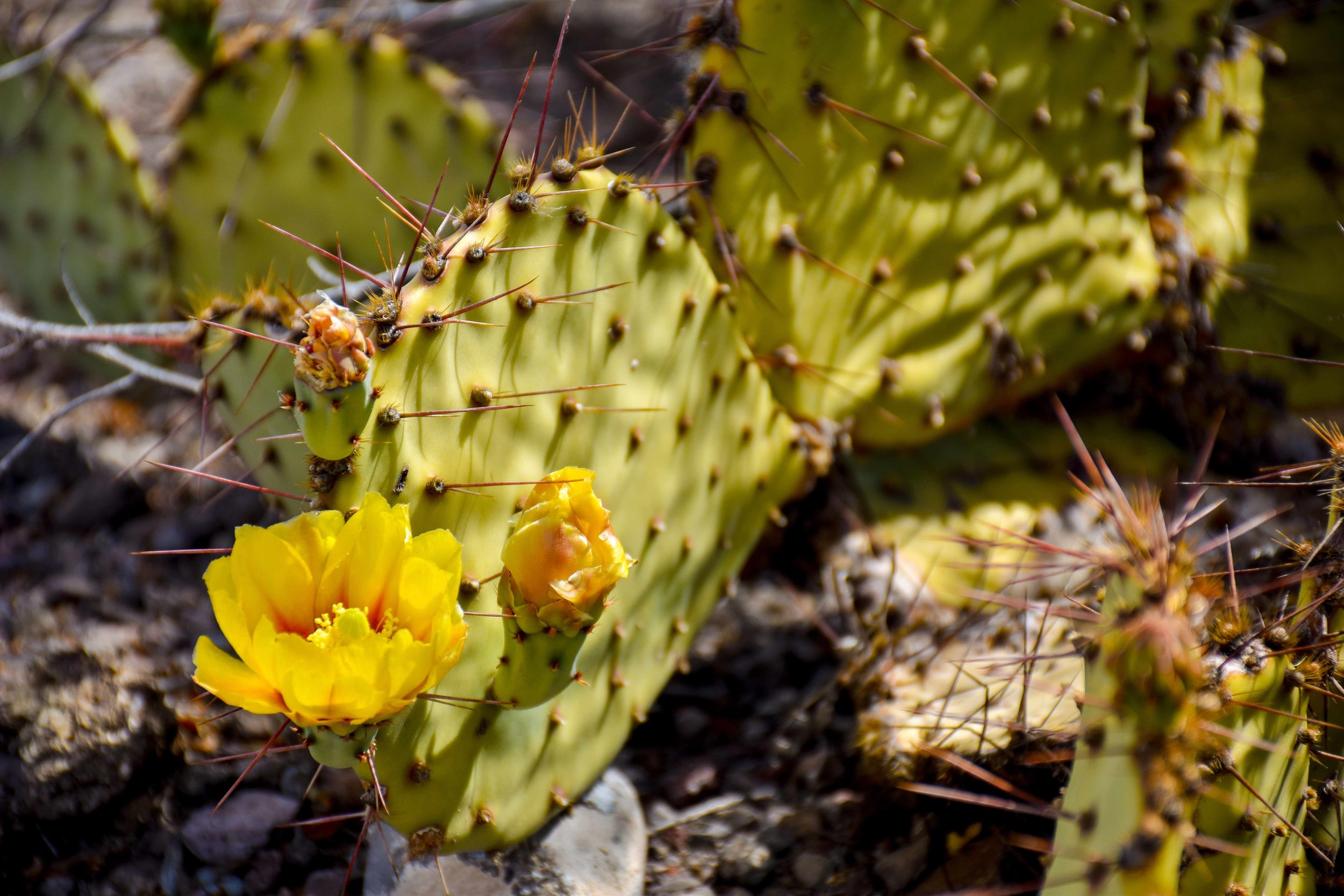 OPUNTIA ENGELMANNII  - TEXAS PRICKLY PEAR