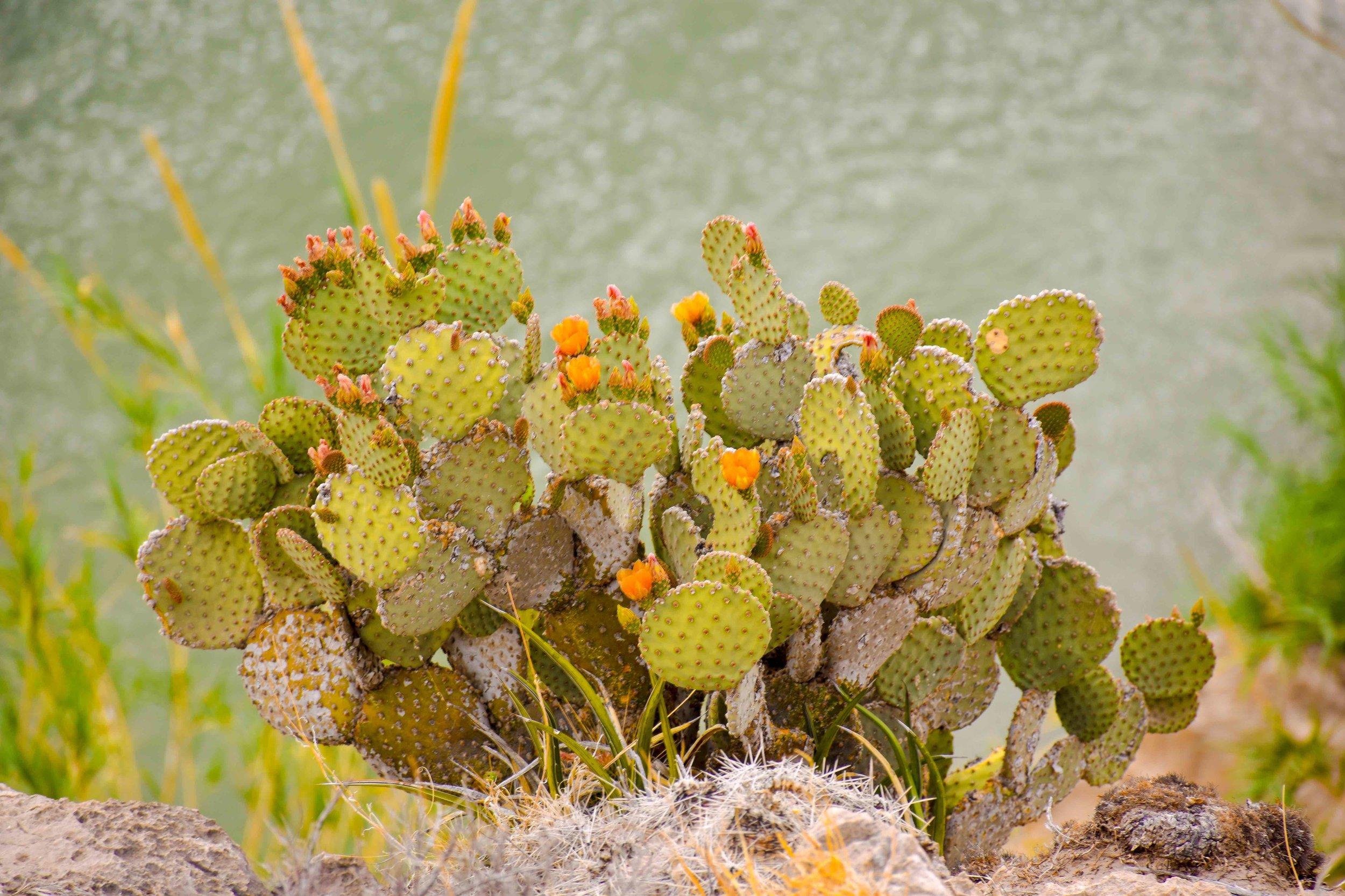 OPUNTIA CHLOROTICA - PANCAKE PRICKLY PEAR THRIVING IN THE SANTA ELENA CANYON