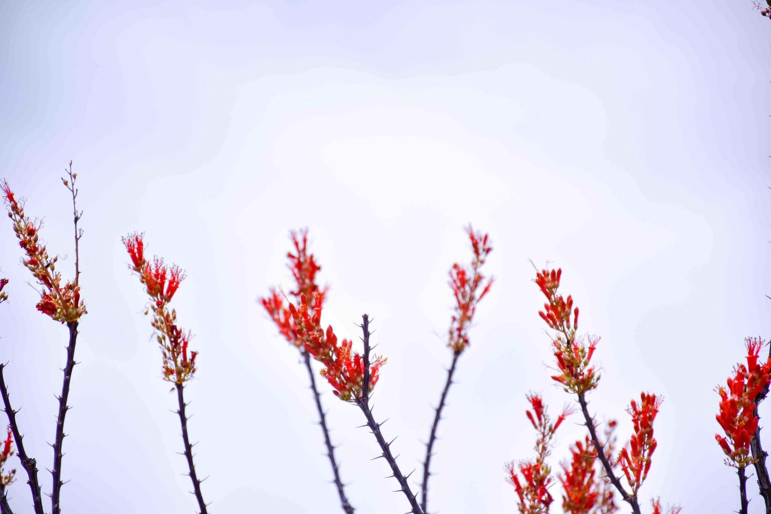 big bend red bloom.jpg
