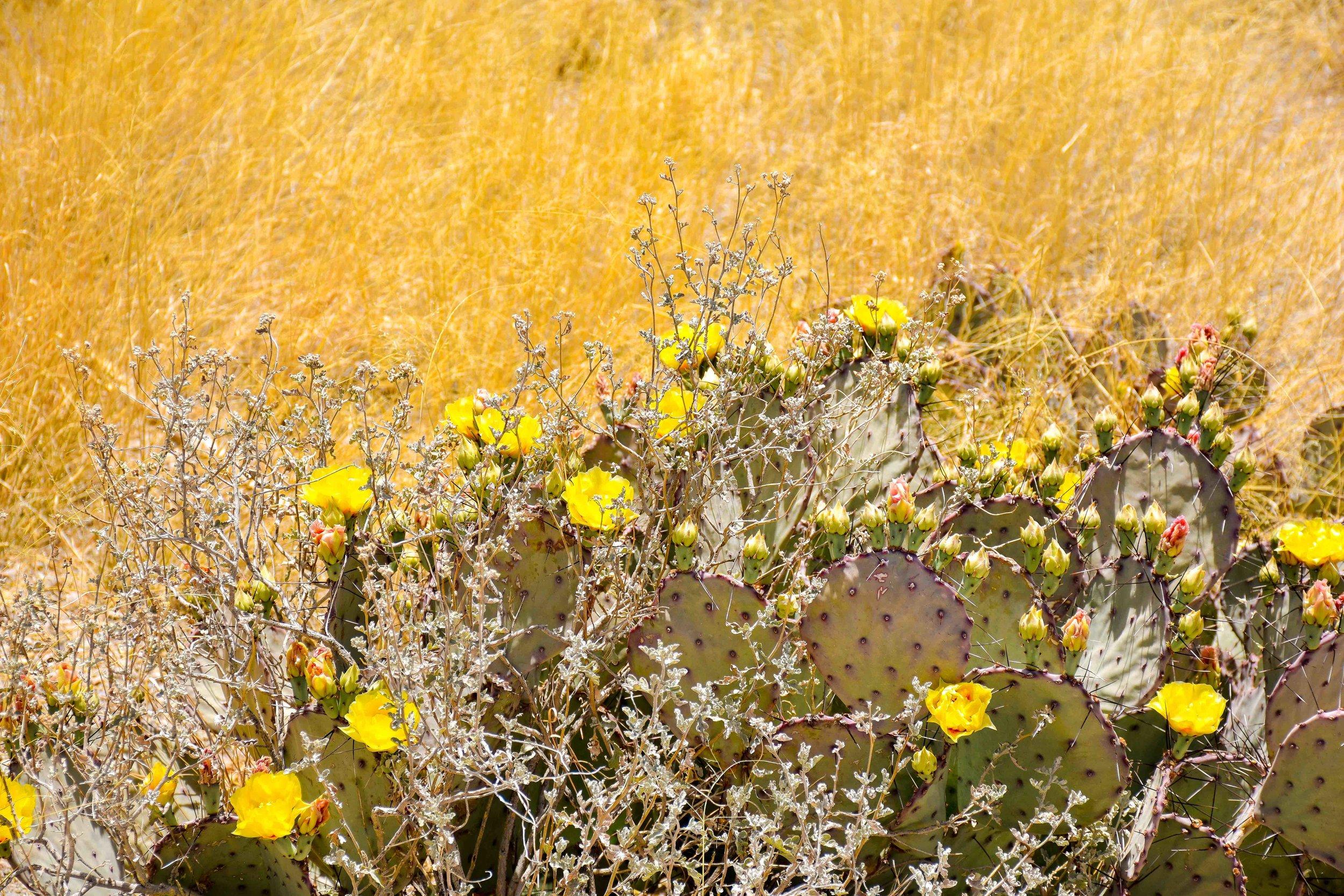 big bend cacti against field.jpg