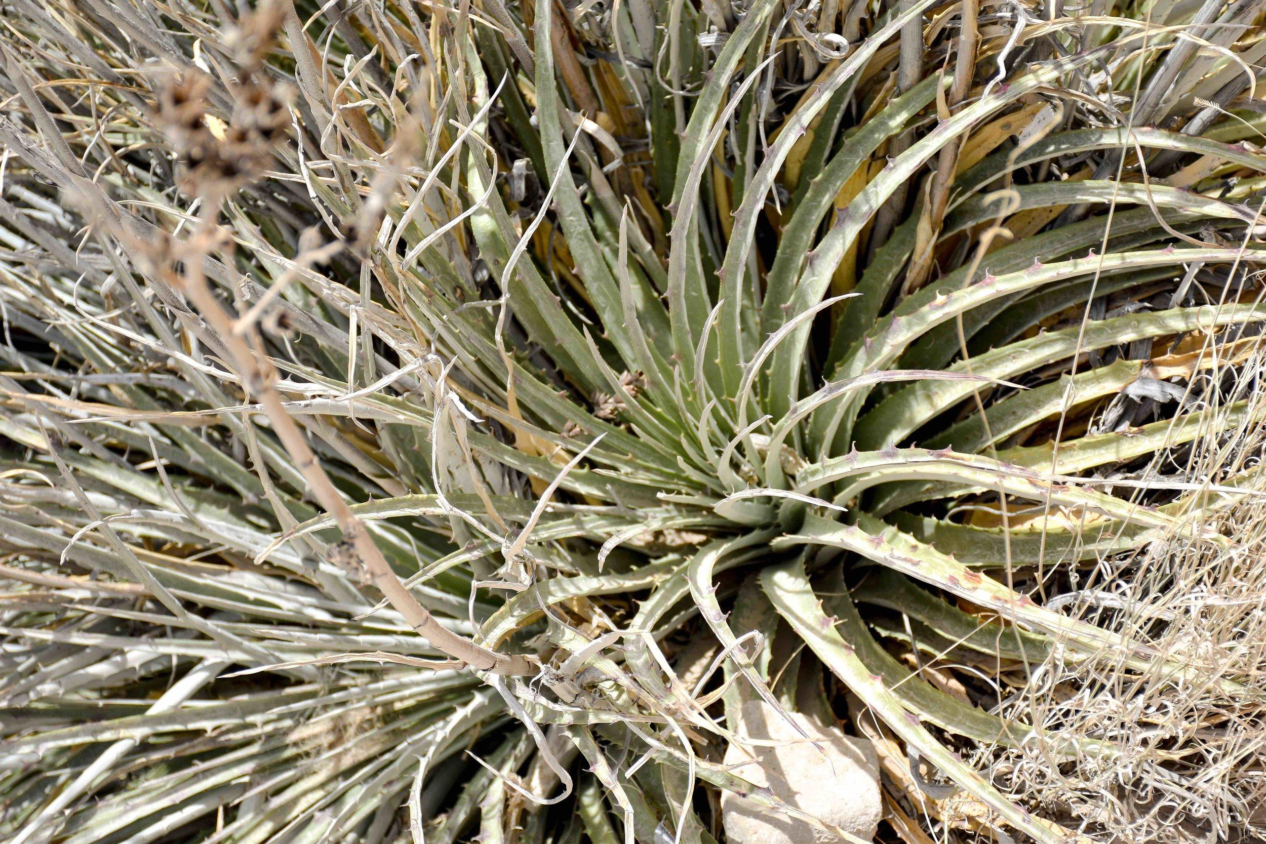 big bend agave thing.jpg