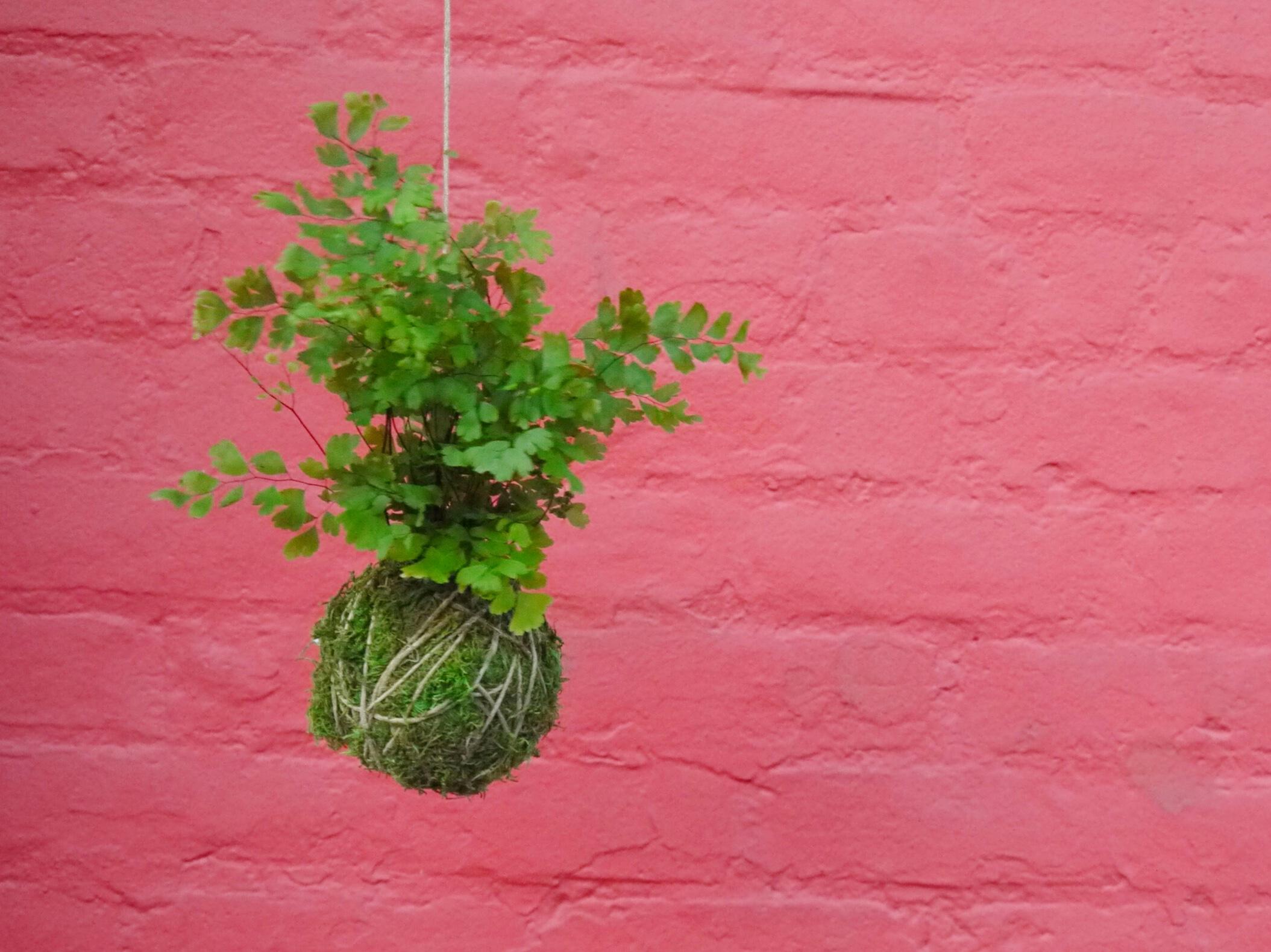 "Kokedama - Translated as ""moss ball"" this Japanese bonsai tradition goes modern as minimal string gardens"