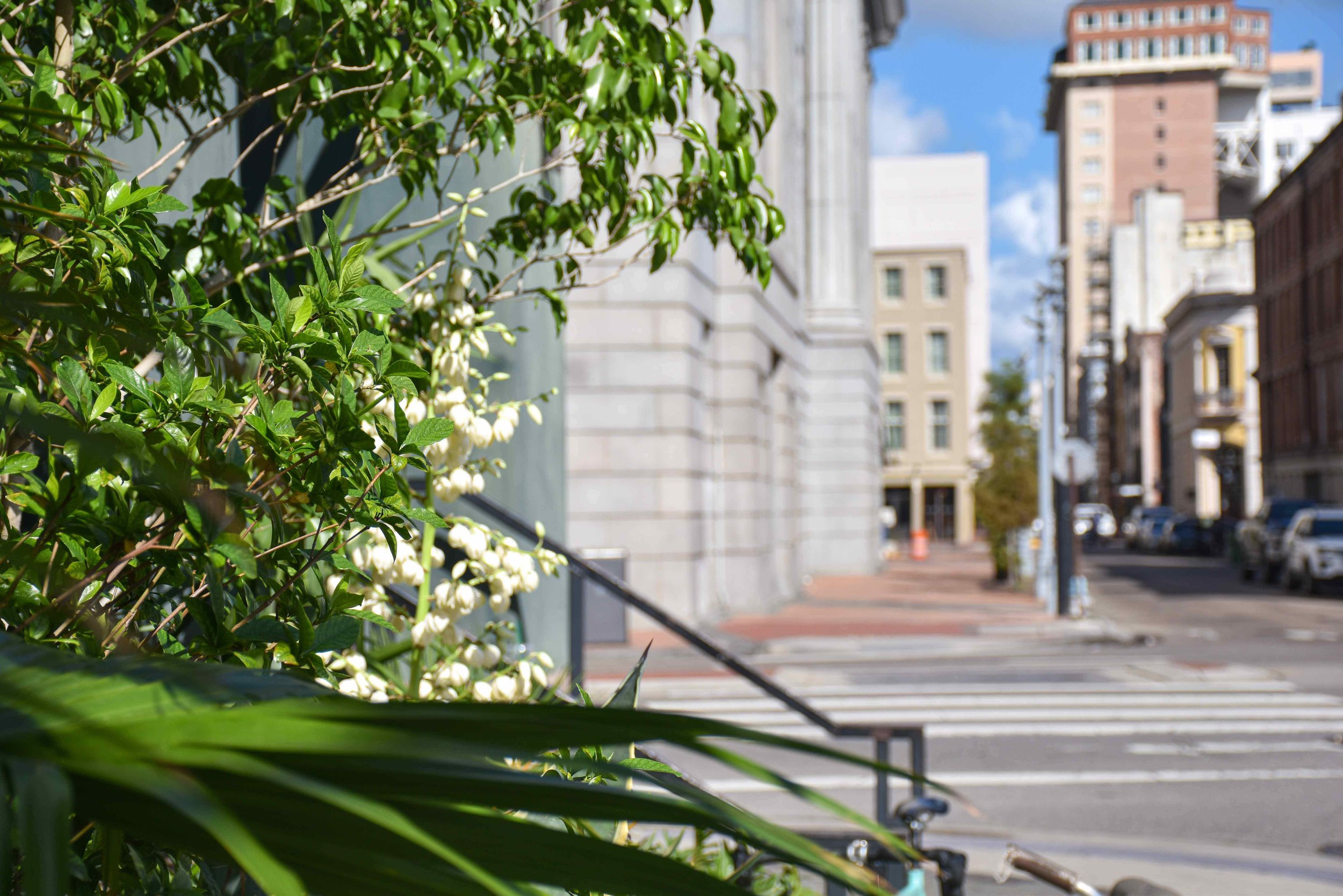 Canal Iberville FQ  Agave bloom.jpg