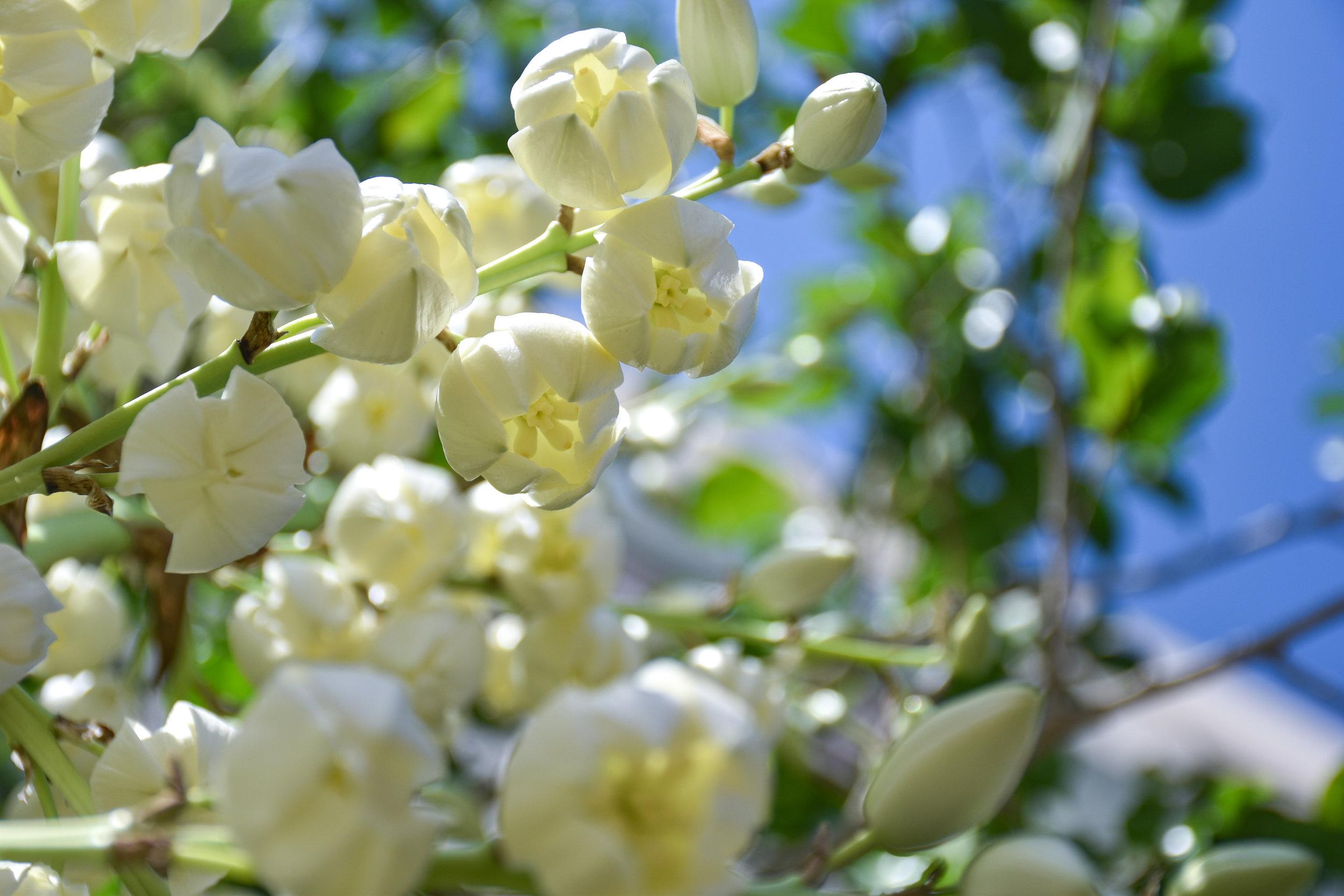 Agave bloom.jpg