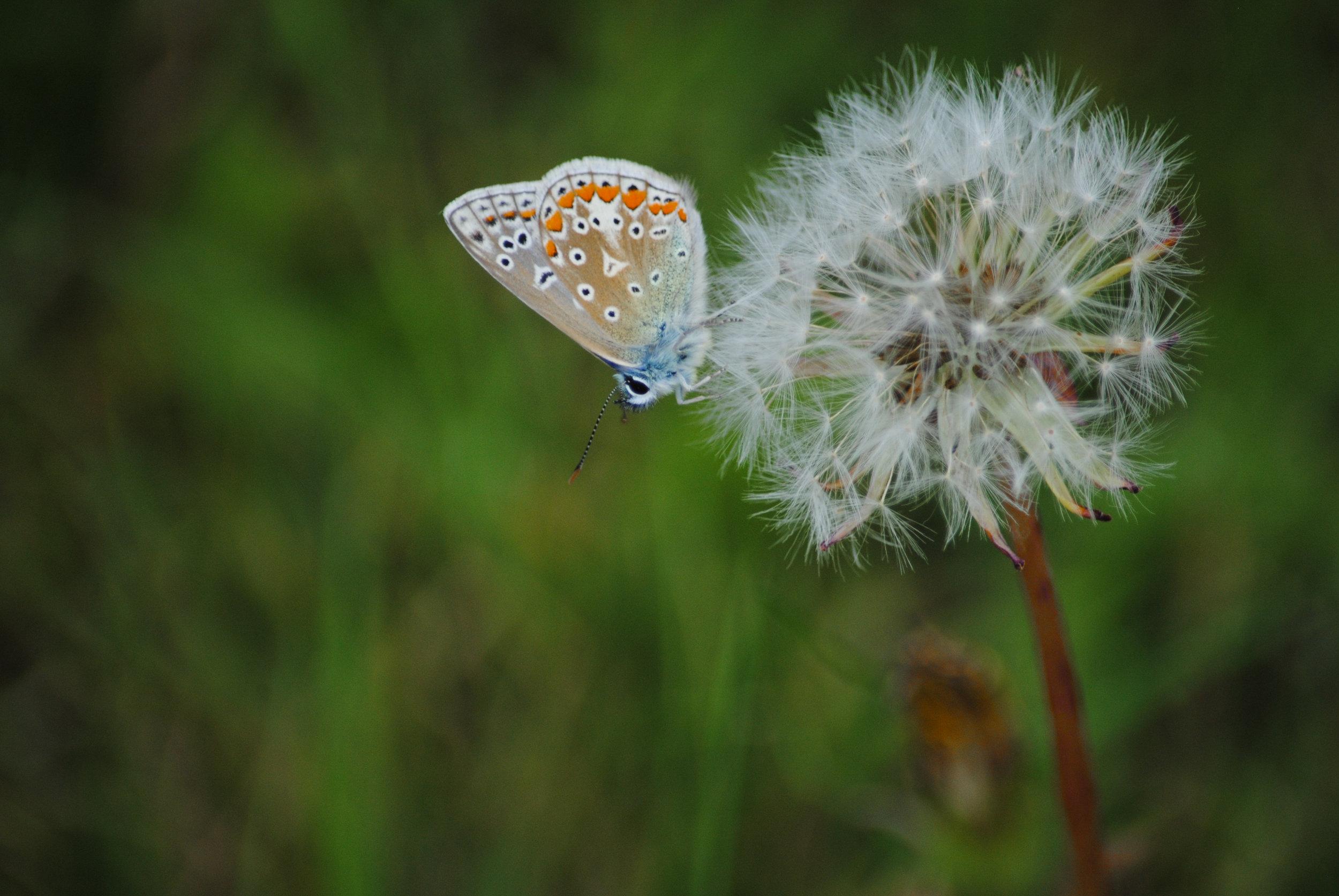 Butterflies of Annaghdown, Galway. Ireland: Male Silver Studded Blue.