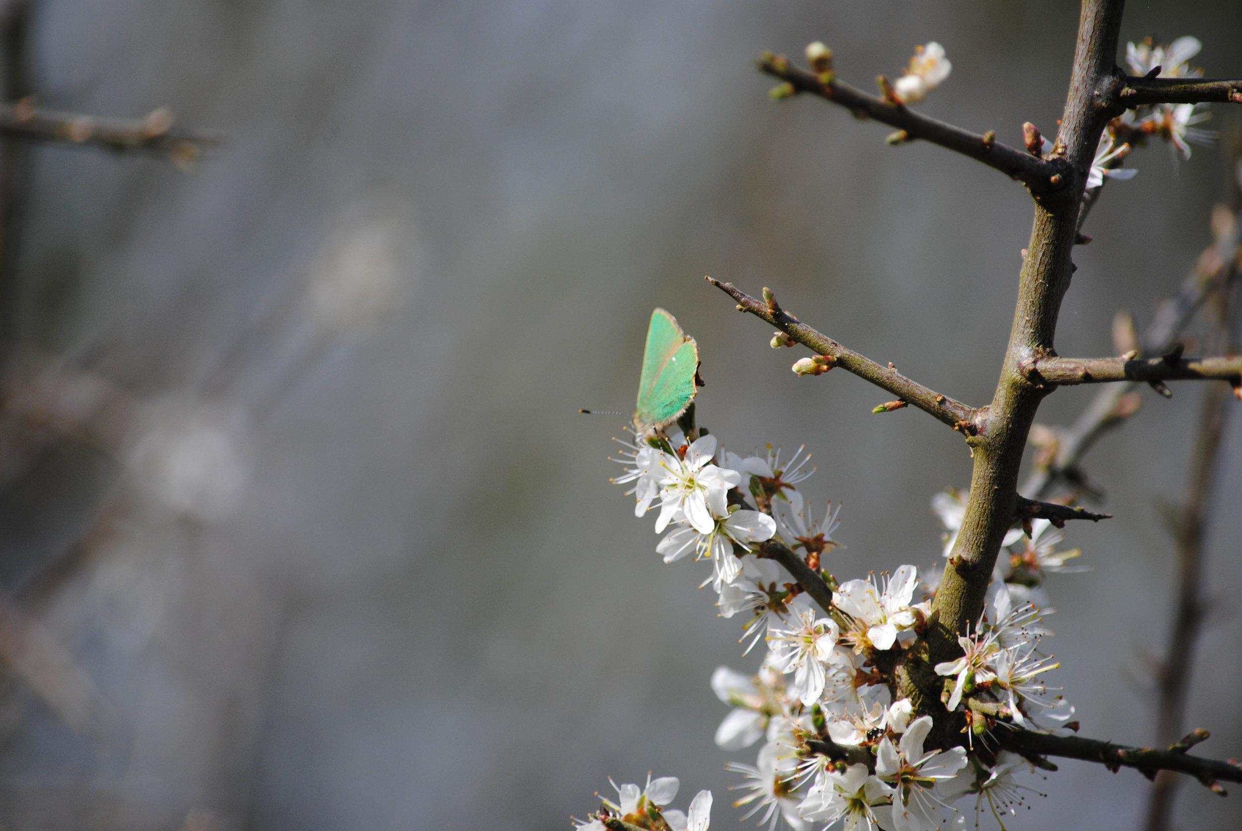 Butterflies of Annaghdown, Galway. Ireland: Green Hairstreak.