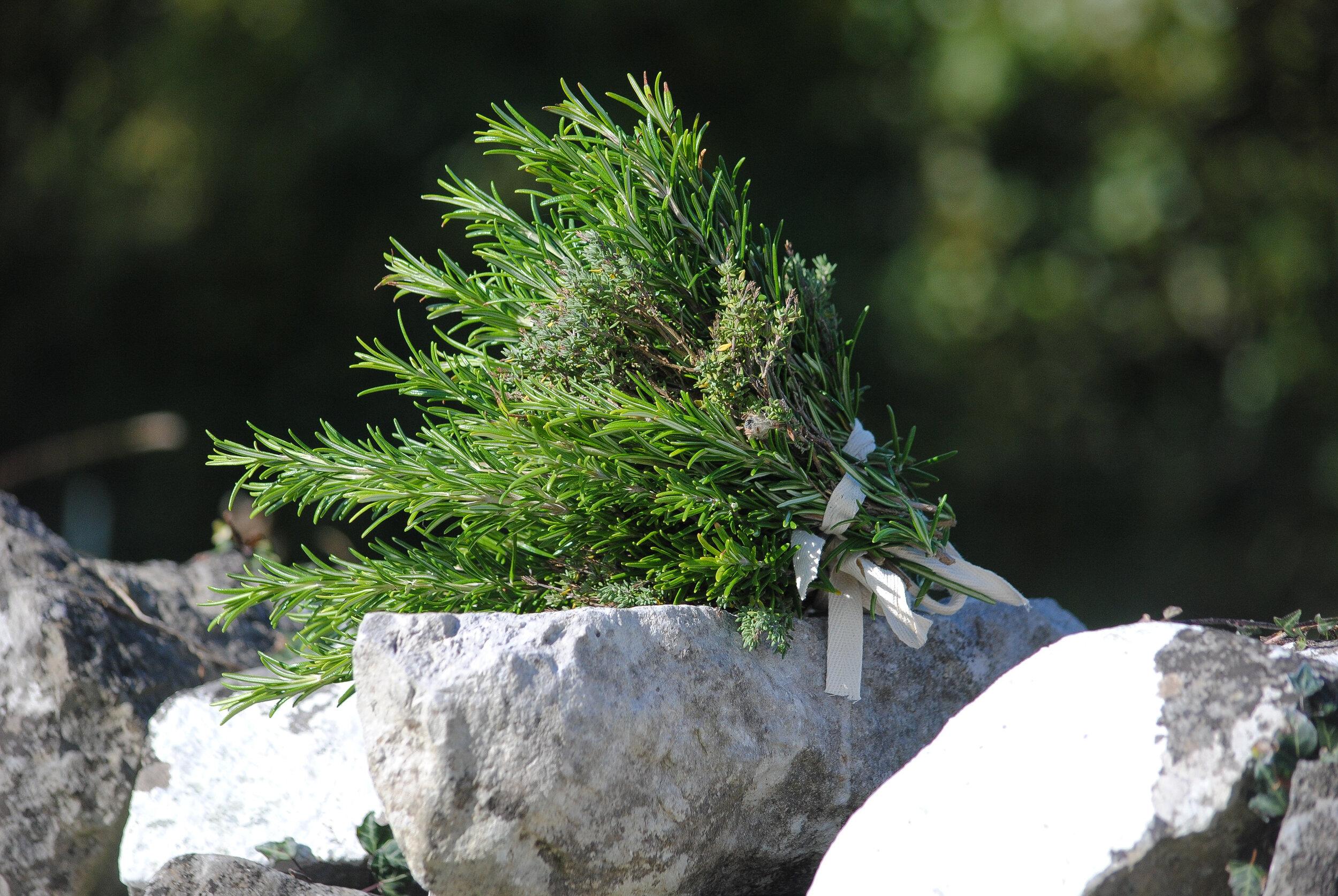 Freshly harvest Rosemary.
