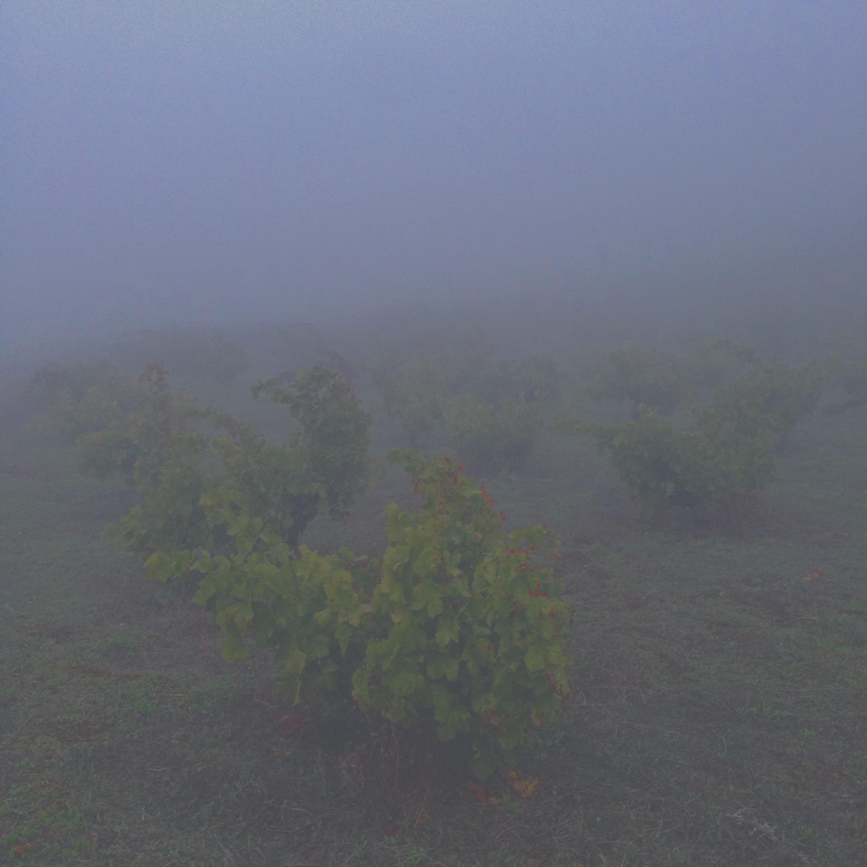 Viti di zibibbo avvolte dalla nebbia.