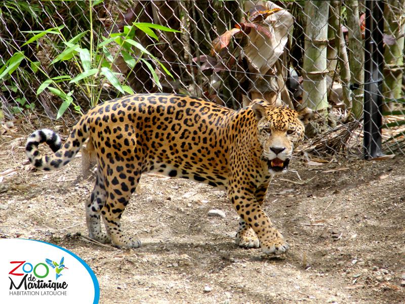 Pattes de velours et crocs d'acier - Ulysse le Jaguar