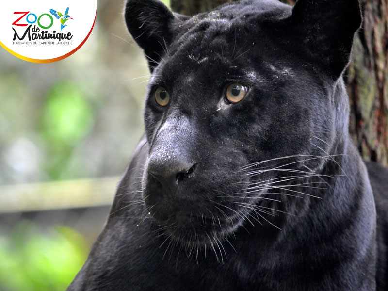 Faya La magnifique - Jaguar noire