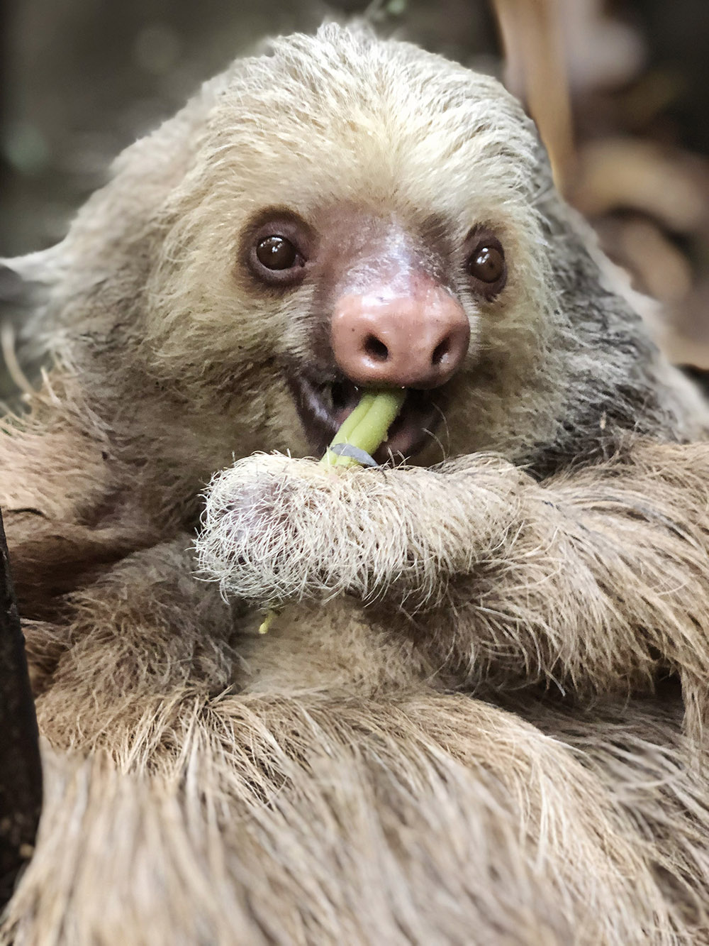 A Sloth chews on a green bean