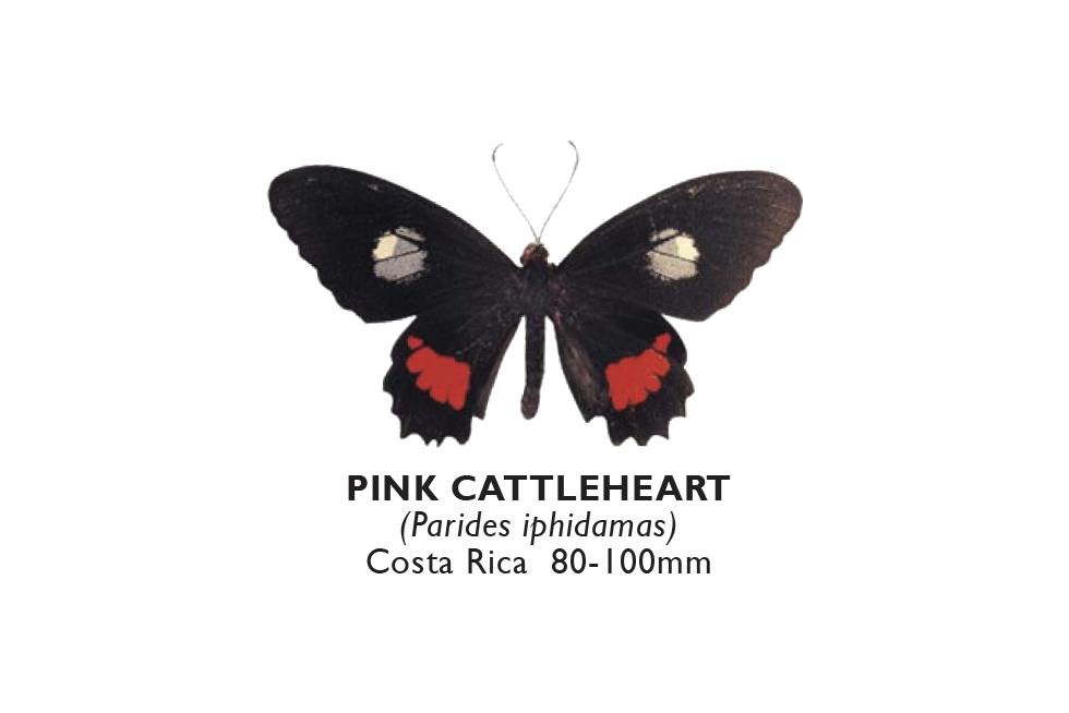 Pink Cattleheart.png