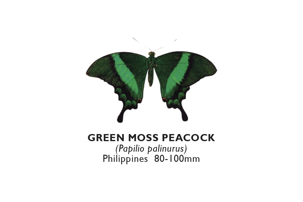 Green Moss Peacock.png